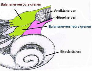 Hörsel- och balansnerven