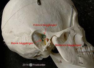 Balansorganens båggångar frilagda i kraniet