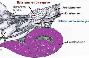 Hörselorganet är granne med balansorganet